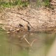 水辺に集まるヒヨドリ