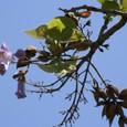 枝をたらした桐の花