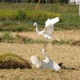 餌を取り合う2羽