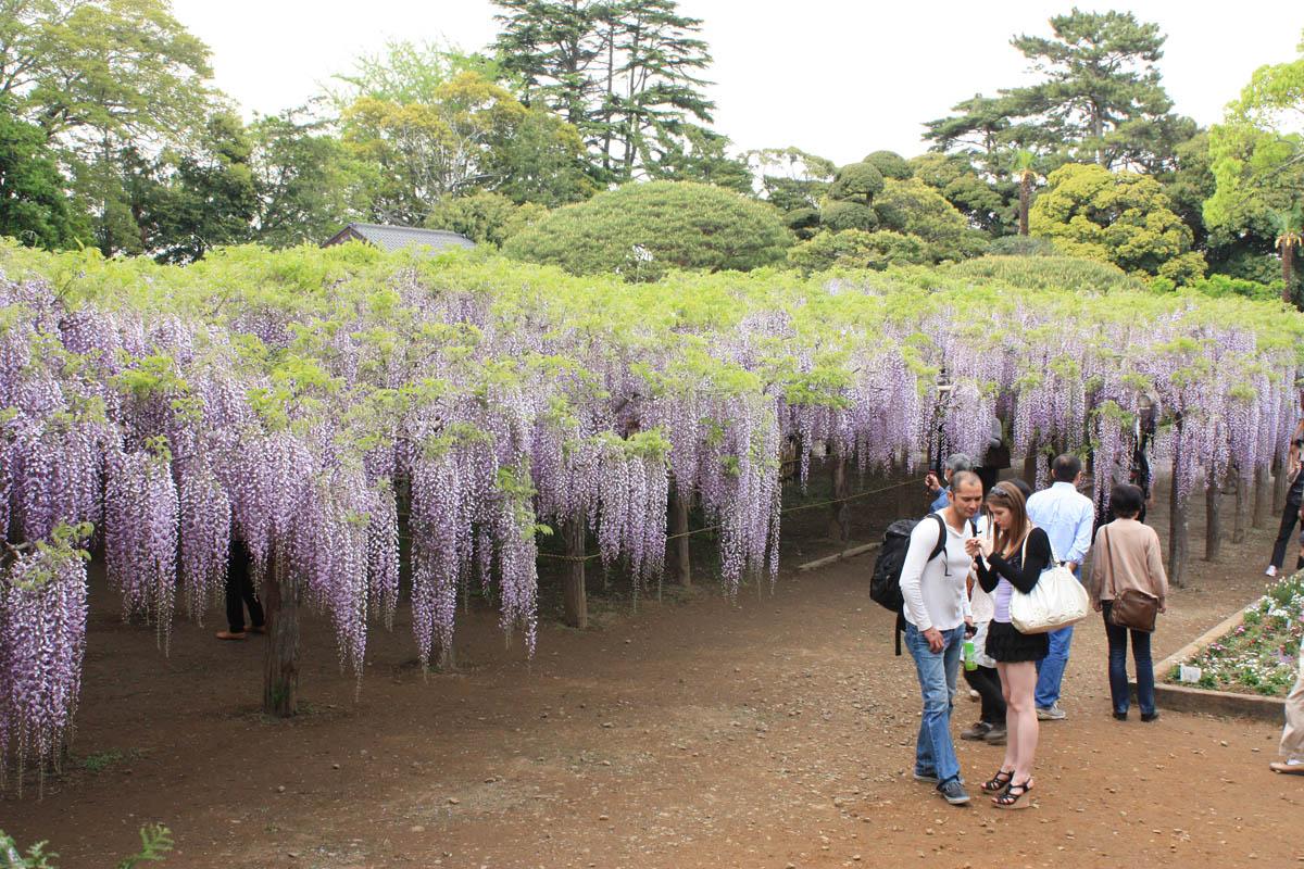 国の特別天然記念物 牛島の藤 5月4日: 暖かさと希望を届けたい