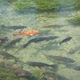 橙色の1匹と黒い鯉の群れ